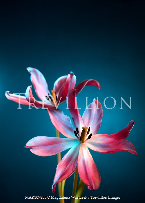 Magdalena Wasiczek Two pink and white tulips on blue background Flowers