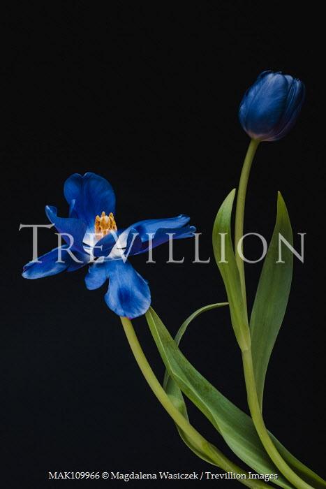 Magdalena Wasiczek two blue tulips on black background Flowers