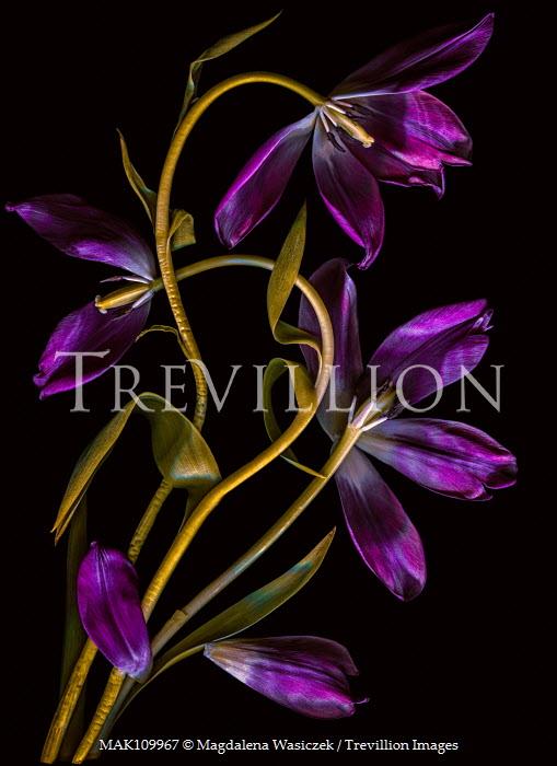 Magdalena Wasiczek three purple tulips on black backgroound Flowers