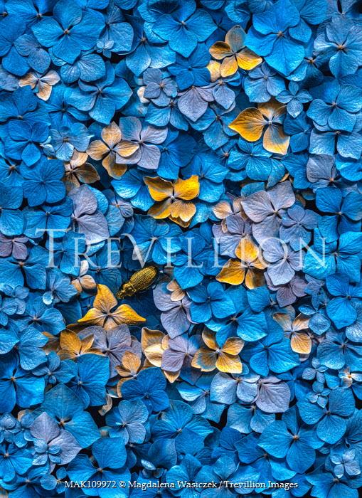 Magdalena Wasiczek close up of blue hydrangea flowers Flowers