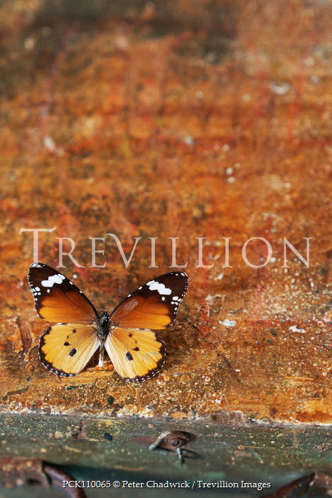 Peter Chadwick BUTTERFLY ON OLD WOODEN BOX Insects