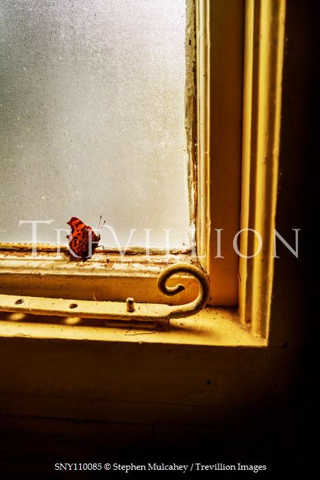 Stephen Mulcahey RED BUTTERFLY INDOORS BY OLD WINDOW Insects