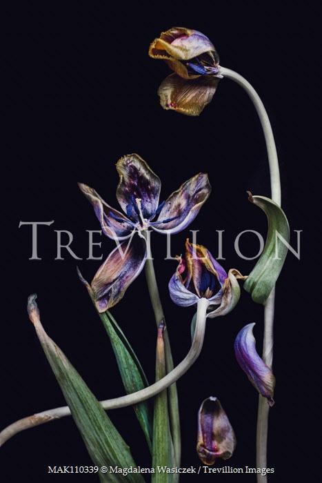 Magdalena Wasiczek WITHERED PURPLE TULIPS Flowers