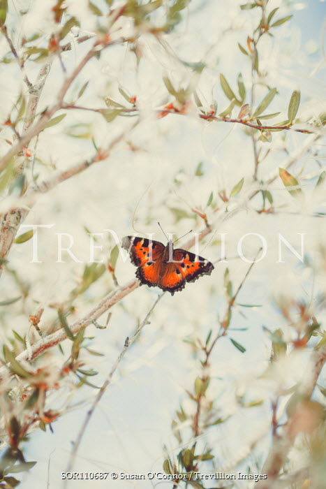 Susan O'Connor BUTTERFLY ON TREE BRANCH Insects
