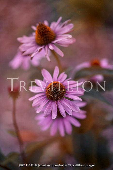 Jaroslaw Blaminsky CLOSE UP OF PINK FLOWERS OUTDOORS Flowers/Plants