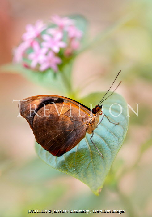 Jaroslaw Blaminsky BROWN BUTTERFLY ON LEAF OUTDOORS Insects