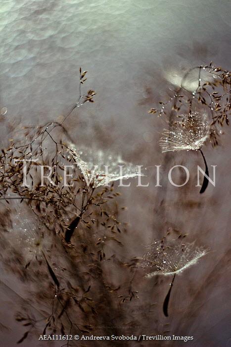 Andreeva Svoboda Dandelion seeds and plant Flowers/Plants
