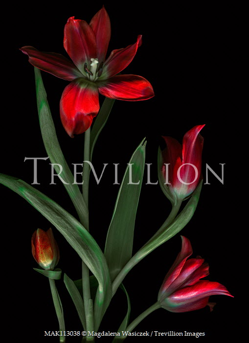 Magdalena Wasiczek four red tulips on black background