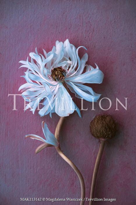 Magdalena Wasiczek Close up of white anemone flower