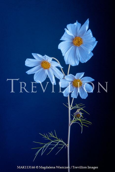 Magdalena Wasiczek close up of three white flowers on blue background