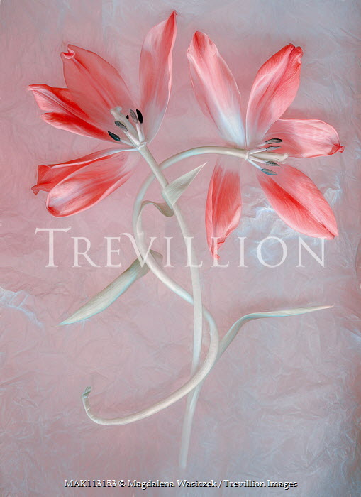 Magdalena Wasiczek two pink flowers entwined