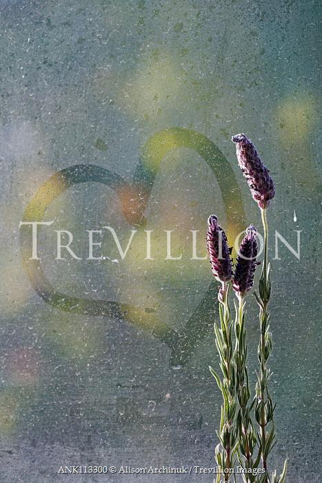 Alison Archinuk lavender beside a heart drawn in moisture on a sunlit window