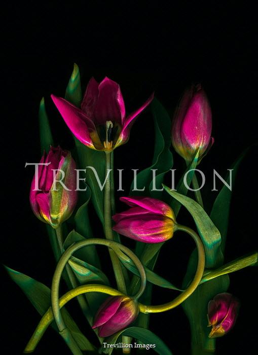 Magdalena Wasiczek pink tulips entwined