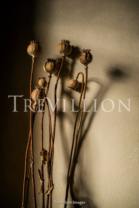 Sally Mundy DRIED POPPY HEADS AND STALKS INDOORS Flowers