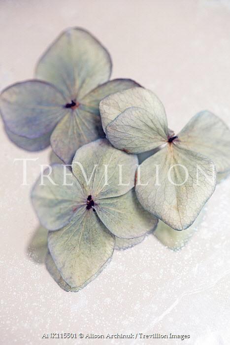 Alison Archinuk CLOSE UP OF HYDRANGEA PETALS Flowers