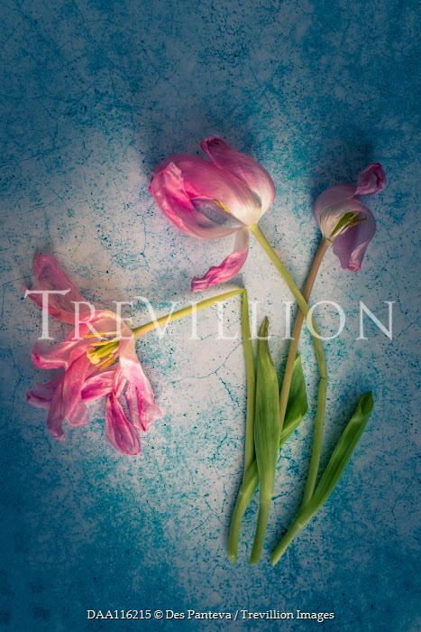 Des Panteva THREE WILTED PINK TULIPS Flowers