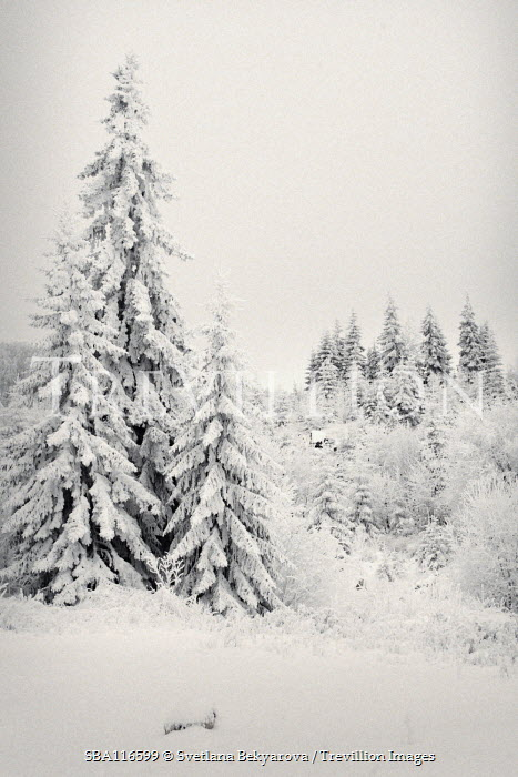 Svetlana Bekyarova FIR TREES IN SNOWY FOREST