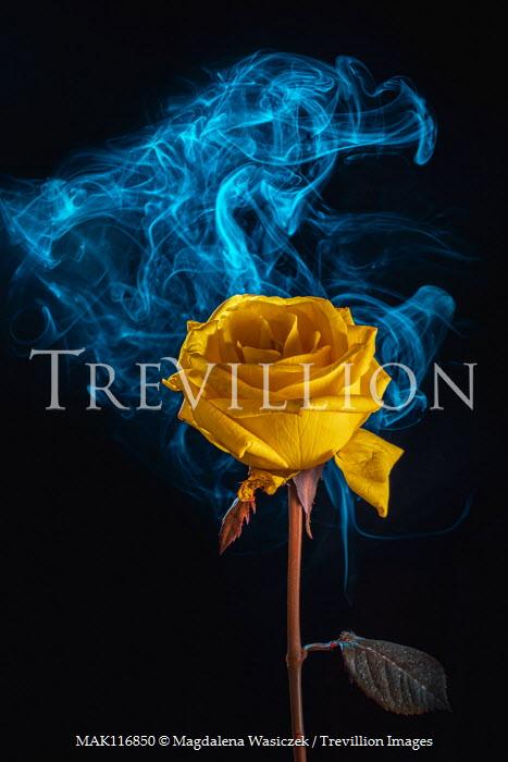 Magdalena Wasiczek close up of yellow rose with smoke