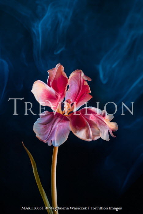 Magdalena Wasiczek close up of tulip with smoke