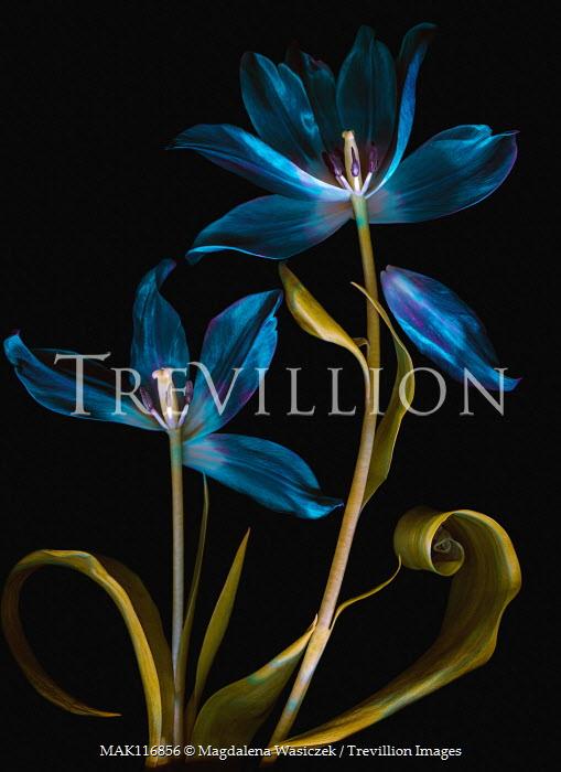 Magdalena Wasiczek blue flowers of tulips at night