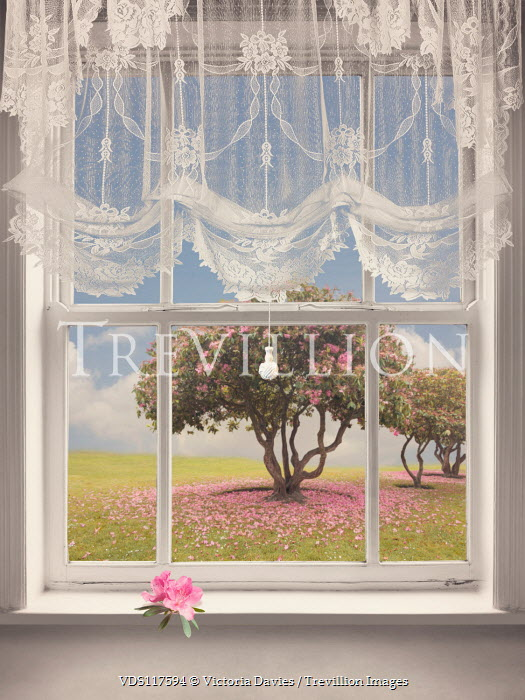 Victoria Davies Tree with pink flowers through window with sheer curtain