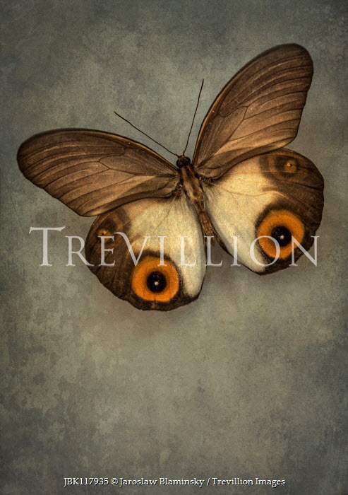 Jaroslaw Blaminsky BROWN BUTTERFLY WITH ORANGE CIRCLES Insects