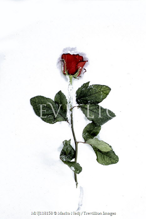Marko Nadj RED ROSE LYING IN SNOW Flowers
