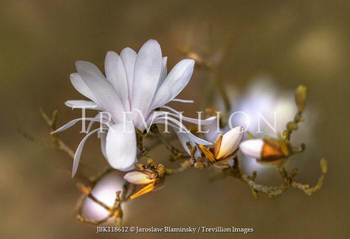 Jaroslaw Blaminsky CLOSE UP OF WHITE MAGNOLIAS Flowers/Plants