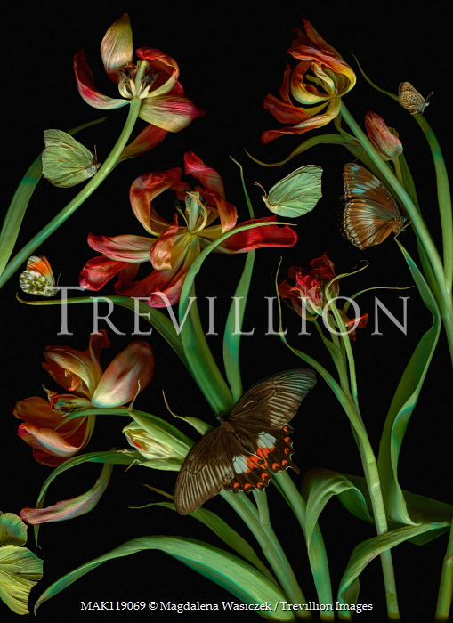 Magdalena Wasiczek wilted tulips and butterflies Insects