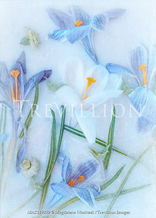 Magdalena Wasiczek blue and white flowers in ice Flowers/Plants