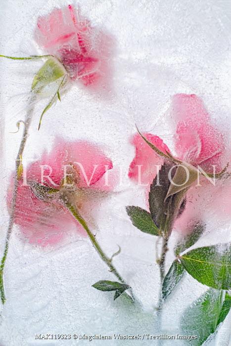 Magdalena Wasiczek pink roses frozen in water Flowers