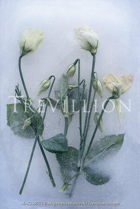 Magdalena Wasiczek close up of frozen white flowers Flowers/Plants