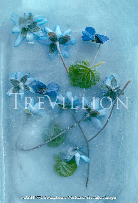 Magdalena Wasiczek BLUE FLOWERS IN ICE FROM ABOVE Flowers/Plants
