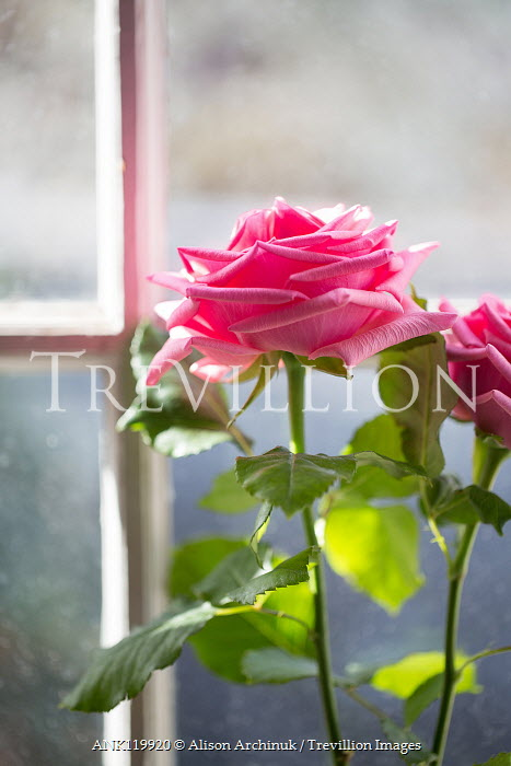 Alison Archinuk two pink roses in sunlit window Flowers