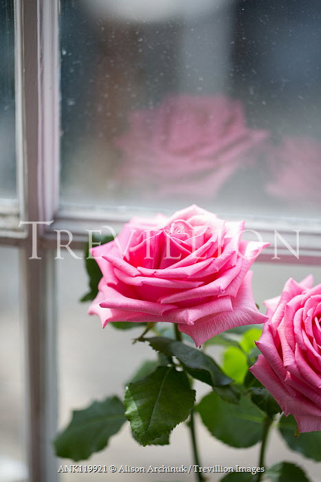 Alison Archinuk two pink roses reflected in a sunlit window Flowers