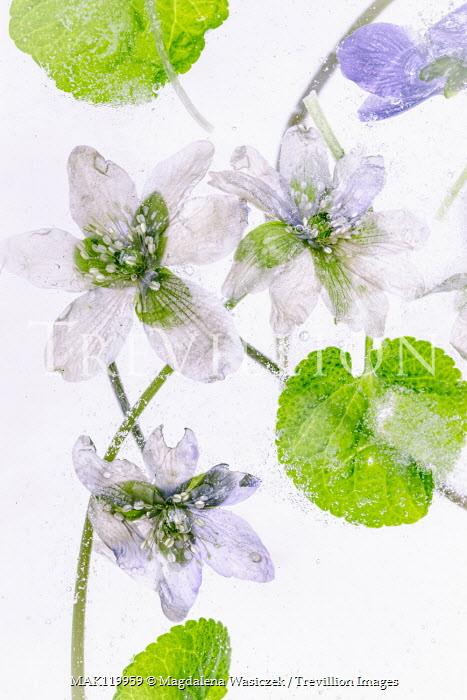Magdalena Wasiczek white flowers floating in water Flowers/Plants