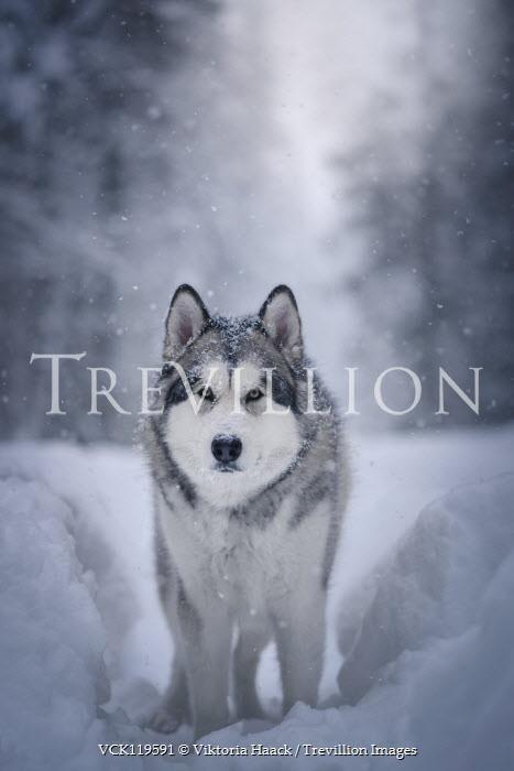 Viktoria Haack WOLF STANDING IN SNOWY COUNTRYSIDE STARING Animals