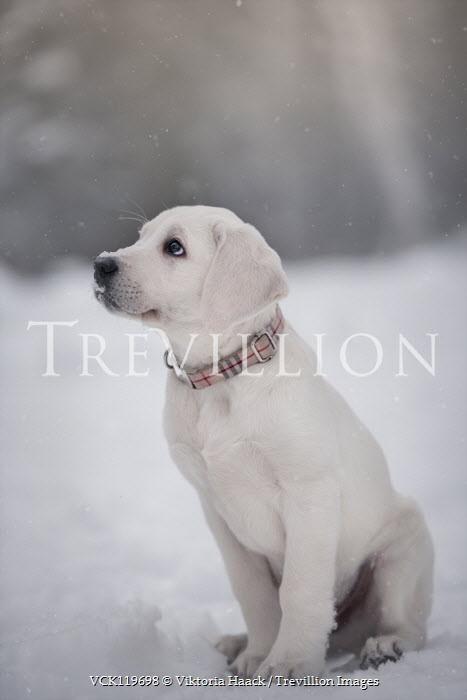 Viktoria Haack LABRADOR PUPPY SITTING IN SNOW Animals