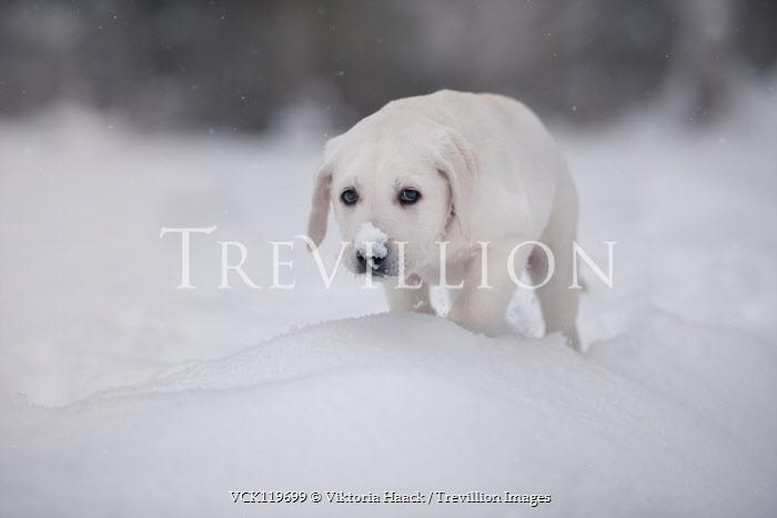 Viktoria Haack LABRADOR PUPPY OUTDOORS WITH SNOW ON NOSE Animals