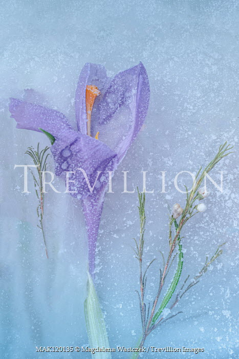Magdalena Wasiczek PURPLE CROCUS FLOWER IN ICE Flowers/Plants