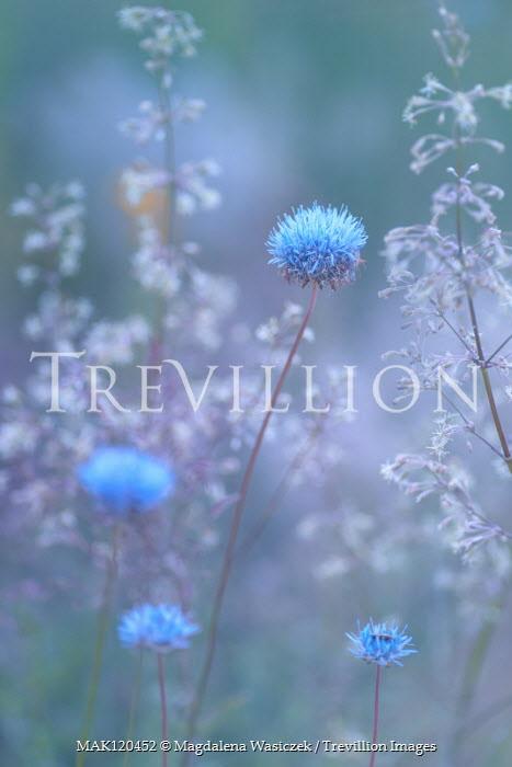 Magdalena Wasiczek CLOSE UP OF BLUE WILD FLOWERS Flowers/Plants