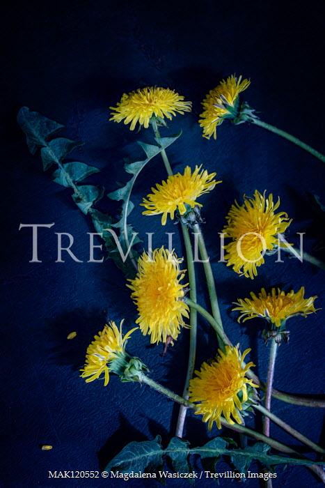 Magdalena Wasiczek DANDELION FLOWERS AND LEAVES Flowers