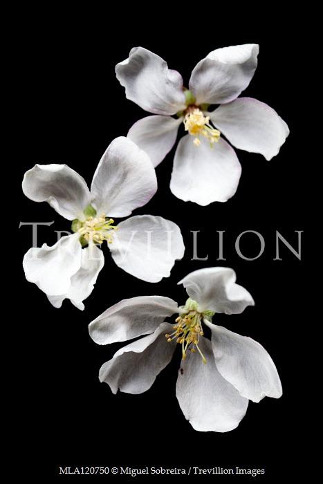 Miguel Sobreira Three Apple Blossom flowers Flowers