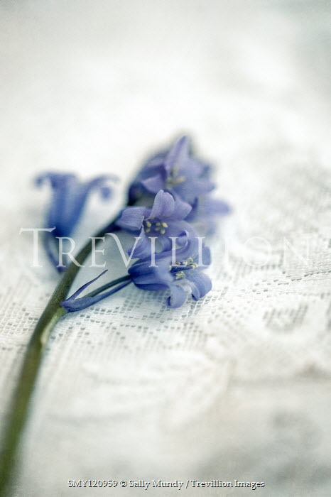 Sally Mundy BLUEBELLS LYING ON LACY TABLECLOTH Flowers