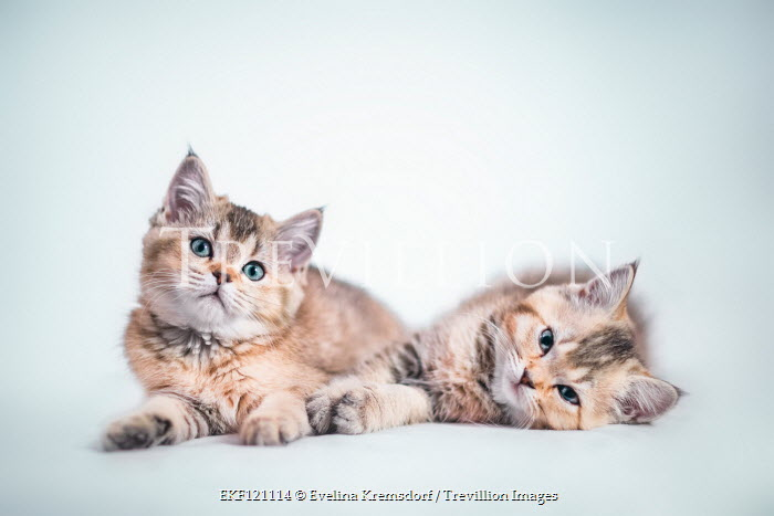 Evelina Kremsdorf Kittens on white background