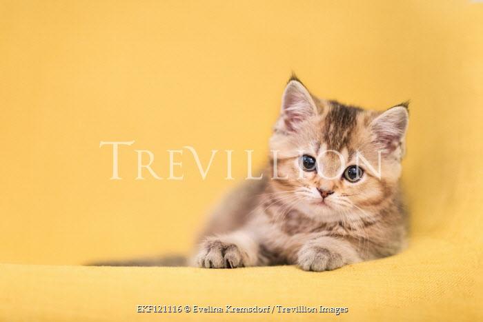 Evelina Kremsdorf Kitten on yellow background