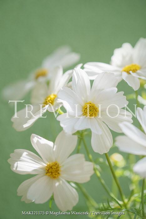 Magdalena Wasiczek Close up of white cosmos flowers