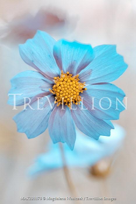Magdalena Wasiczek Close up of blue cosmos flower
