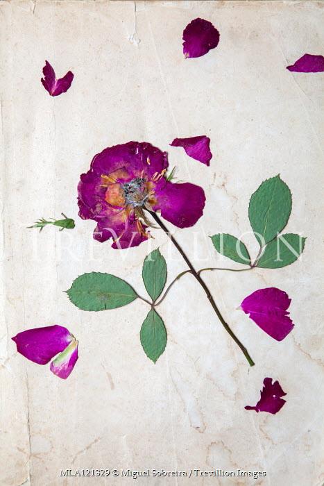 Miguel Sobreira PURPLE ROSE PRESSED ON PAPER Flowers