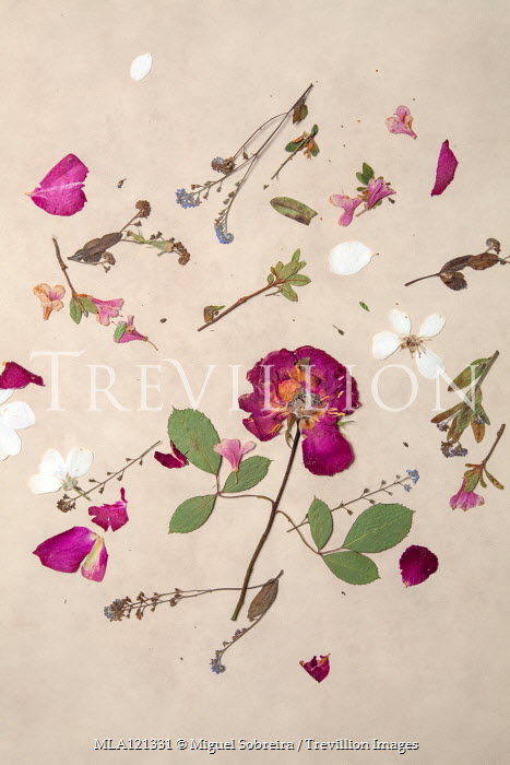 Miguel Sobreira PINK ROSE AND PETALS PRESSED ON PAPER Flowers